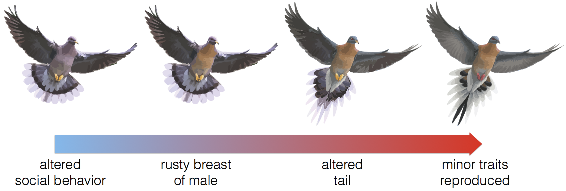 Passenger Pigeon Images Used In This Diagram Were Modified From Tim Houghu0027s  Original Artwork