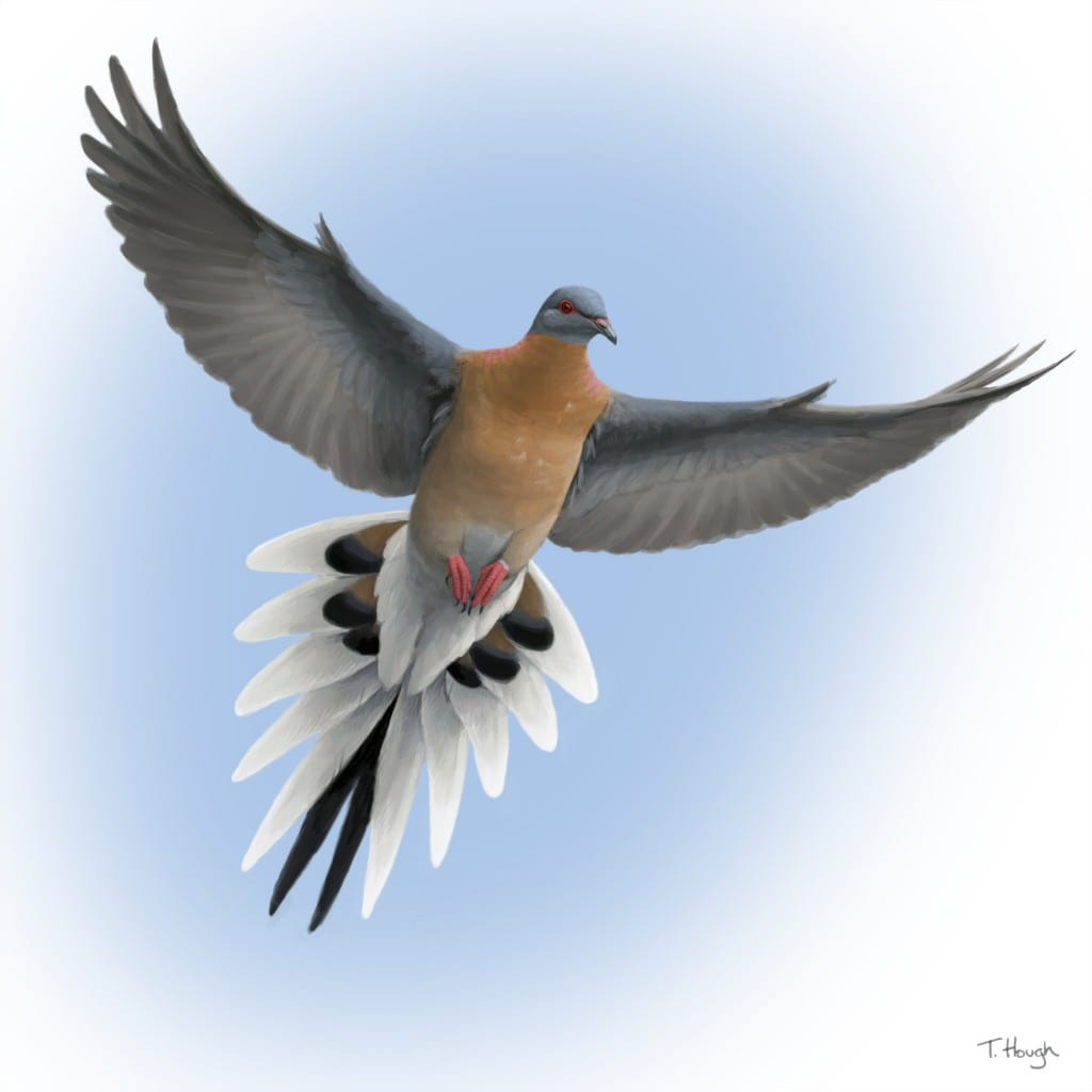 The great passenger pigeon comeback for Birds project