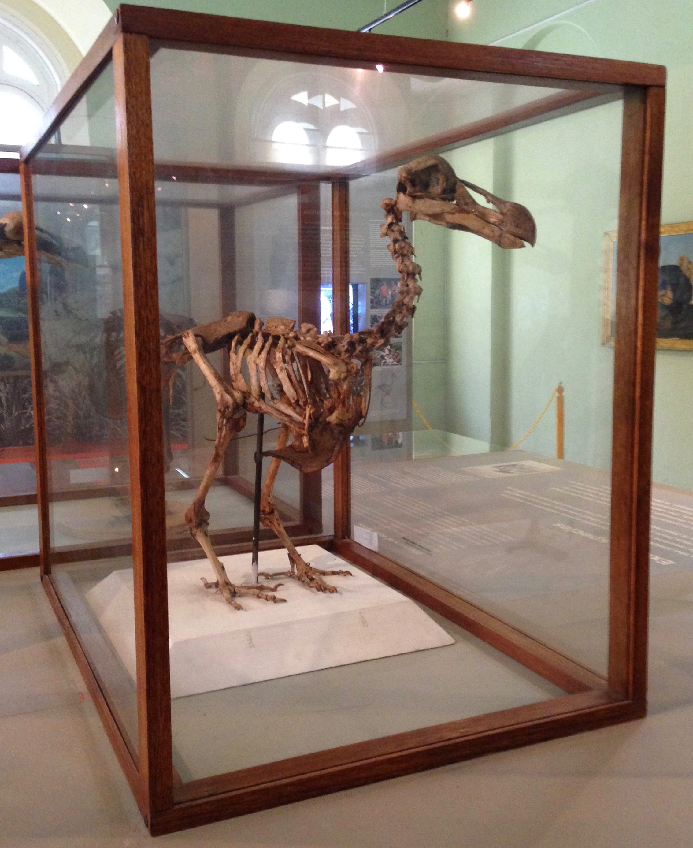 Skeleton of the extinct Dodo, endemic to Mauritius, on display at the Mauritius Natural History Museum, Port Louis, Mauritius.